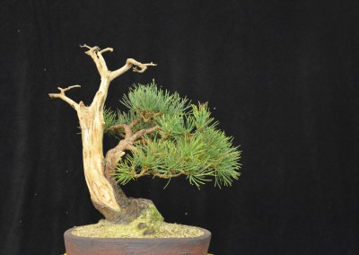 Yama-bonsai_Will_254