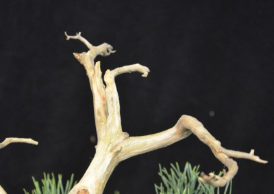 Yama-bonsai_Will_257
