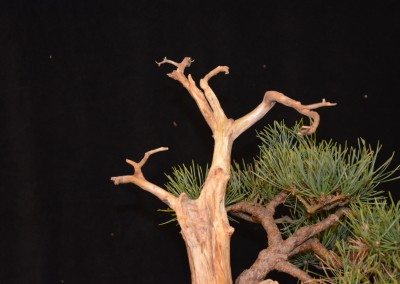 Yama-bonsai_Will_260