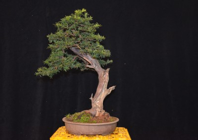 Yama-bonsai_Will_261