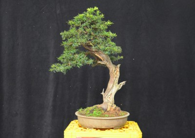 Yama-bonsai_Will_262
